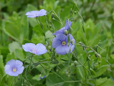 Flor-de-lino.jpg