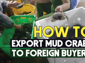 How to Export mud crabs to Foreign Buyers? | Exporting Mud Crabs