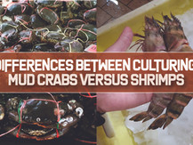 Differences between Culturing Mud Crabs versus Pacific White Shrimps   Business Insights
