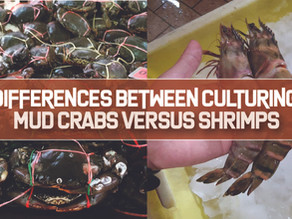 Differences between Culturing Mud Crabs versus Pacific White Shrimps | Business Insights