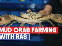 Mud Crab farming (Scylla spp) with Recirculating Aquaculture Systems
