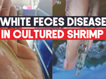 White Feces Disease (WFD) in the culture of L Vannamei   Aquaculture Technology