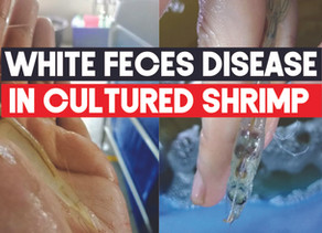 White Feces Disease (WFD) in the culture of L Vannamei | Aquaculture Technology