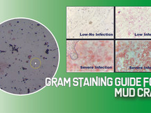 Gram Straining for Spotting Mud Crab Pathogen Infection | Aquaculture Technology
