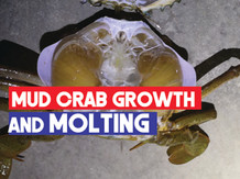 Mud Crab (Scylla spp.) Growth and Molting   Ecdysis