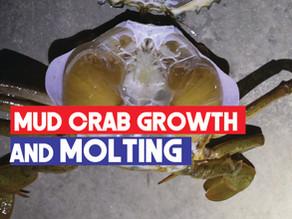 Mud Crab (Scylla spp.) Growth and Molting | Ecdysis