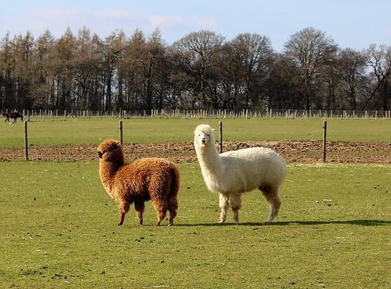 1st-choice-alpacas.JPG