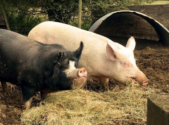 1st-choice-pigs-2.jpg
