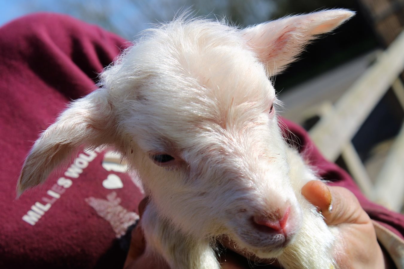 1st-choice-baby-lamb.JPG
