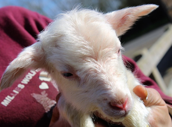 1st-choice-baby-lamb.JPG