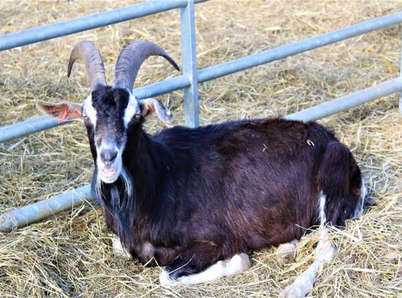 1st-choice-trained-goat.JPG
