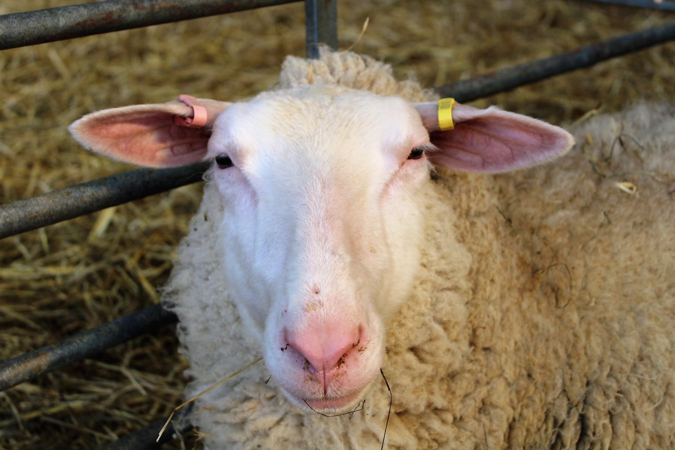 1st-choice-frisian-sheep.JPG