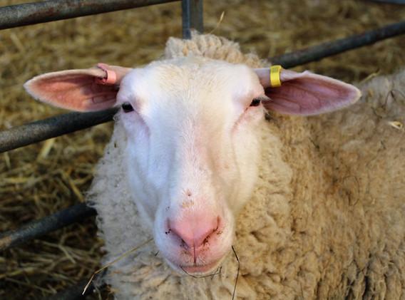 1st-choice-frisian-sheep.JPG