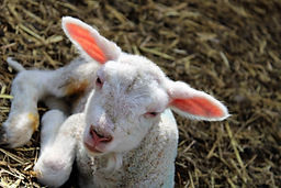 I am just a little lamb
