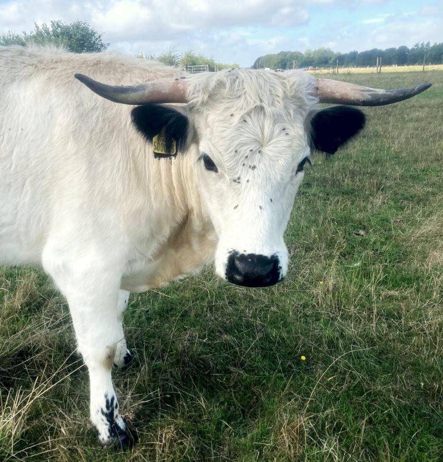 1st-choice-animals-trained-cow 2.jpg