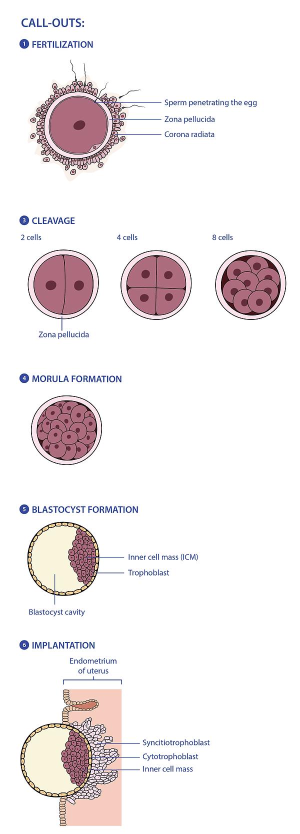 Ovulation through to Implantation_final