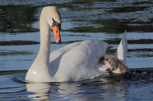 Swankid trying to climb up to the mother