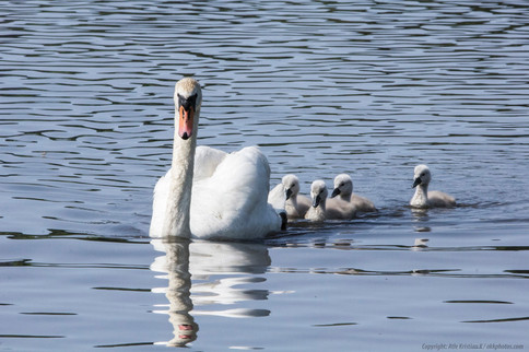 Swanmother with kids