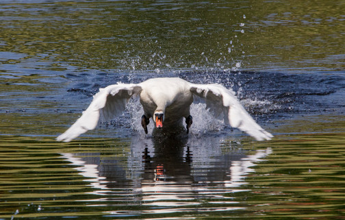 Swan ready for takeoff