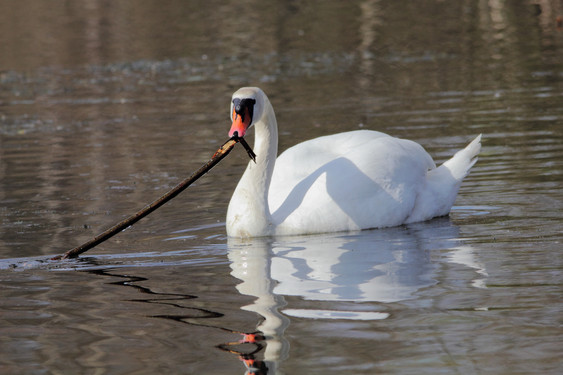 Swan making nest