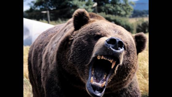 Roaring brown bear showing teeth.
