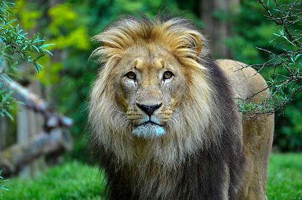 Canva - Close-Up Photography of a Lion.j