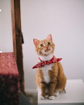 orange-tabby-cat-with-red-handkerchief-s
