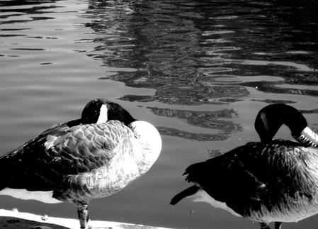 Ducks At The Pond Juan.JPG