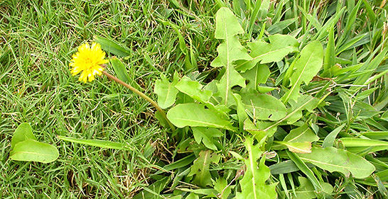 lawn weeds gardener northampton lawn car