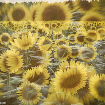 sunflower (1 of 1).jpg