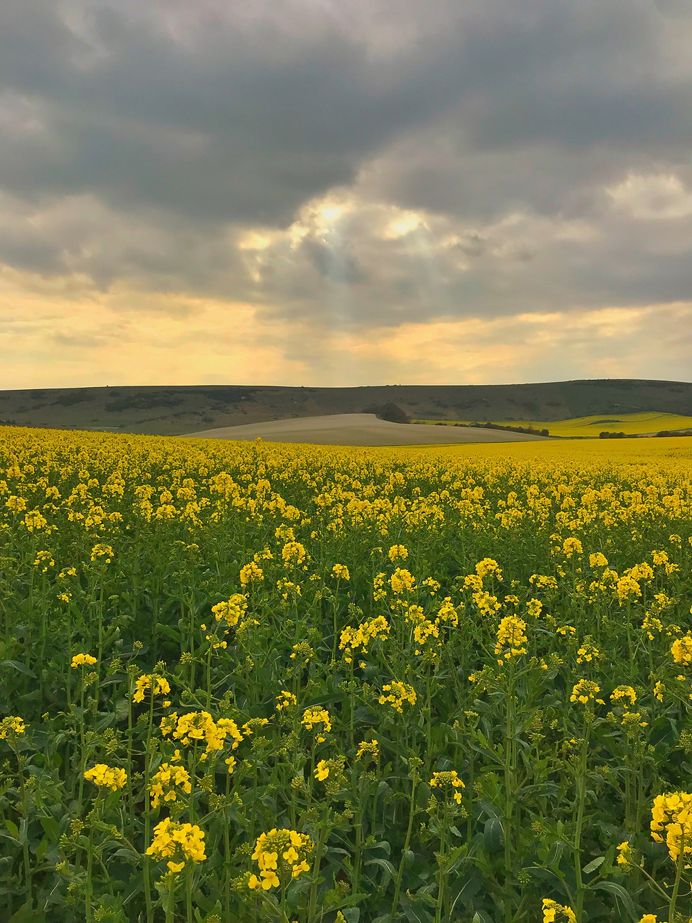 rapeseed field in South Downs