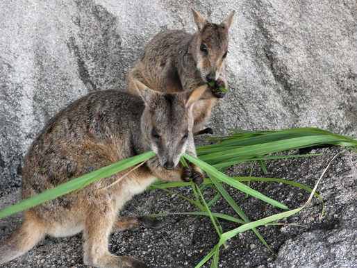 Rock Wallaby Deaths on Magnetic Island