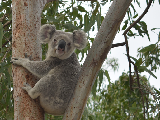 KOALAS IN THE NEIGHBOURHOOD