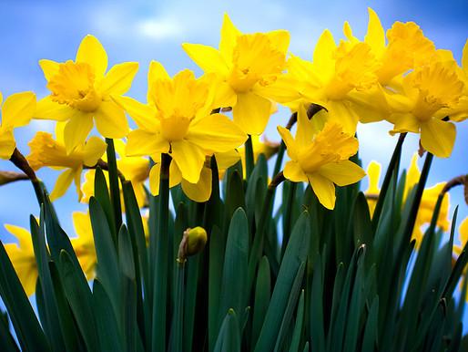 It's Daffodil Day