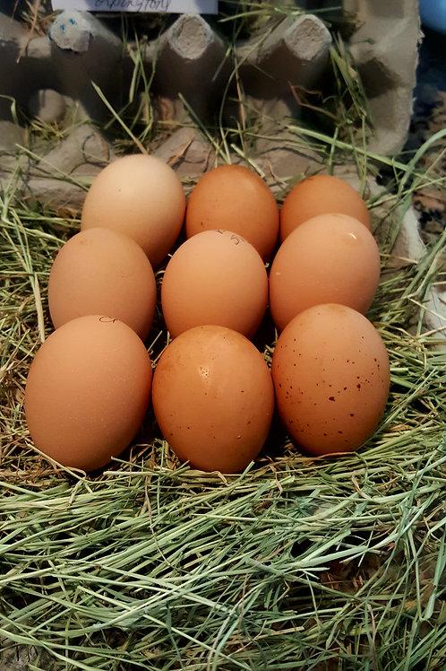 Fertilized English Bred Blue Orpington Eggs