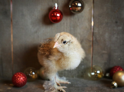 english bred blue gold partridge chick chickens hen rooster cockrell