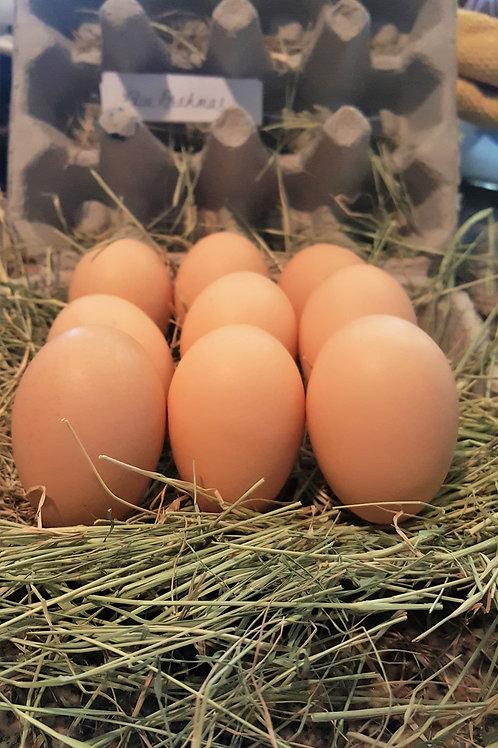 Fertilized Blue Brahma Eggs