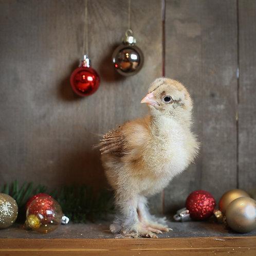 Buff Laced Brahma Chick