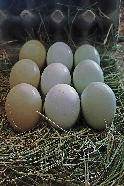 6 pk  Ameraucana Eggs