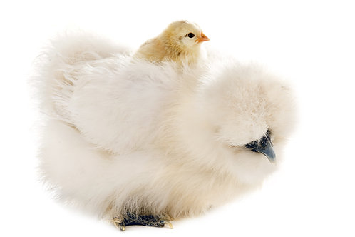 silkie hen chick chickens blue buff white black