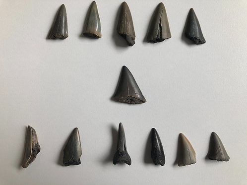 Set of teeth belonging to the fearsome Cosmopolitodus Hastialis