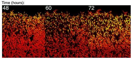 SigB gradient biofilm.jpg