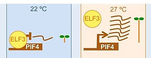 ELF3 PIF4.jpg