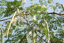 Le Moringa : l'arbre qui pourrait nourrir les zones en malnutrition