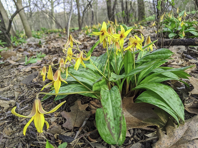 2020-05-09 PW1 trout lilly.png