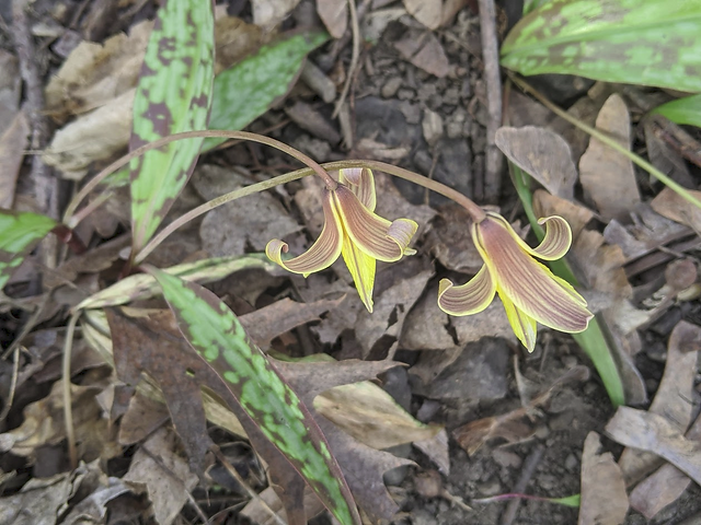 2020-05-09 PW 2 trout lily.png