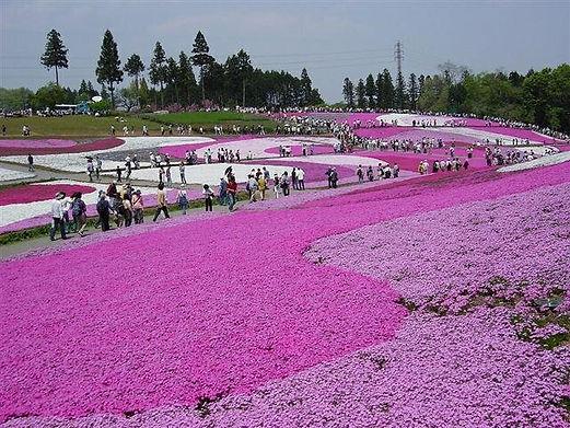 秩父市「芝桜の丘」