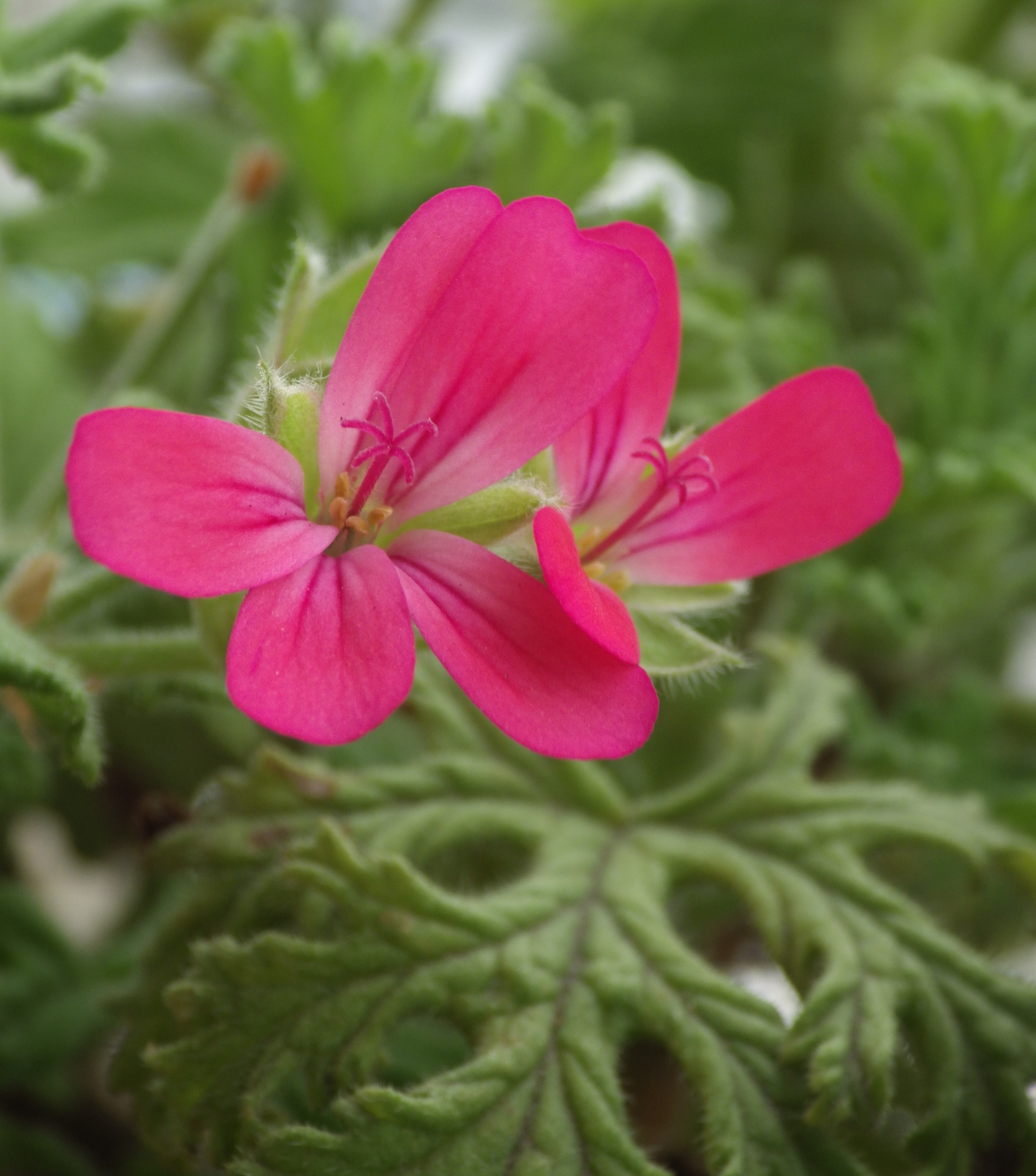 Geranium Red Flower