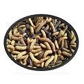 Black solder fly larvae.jpg