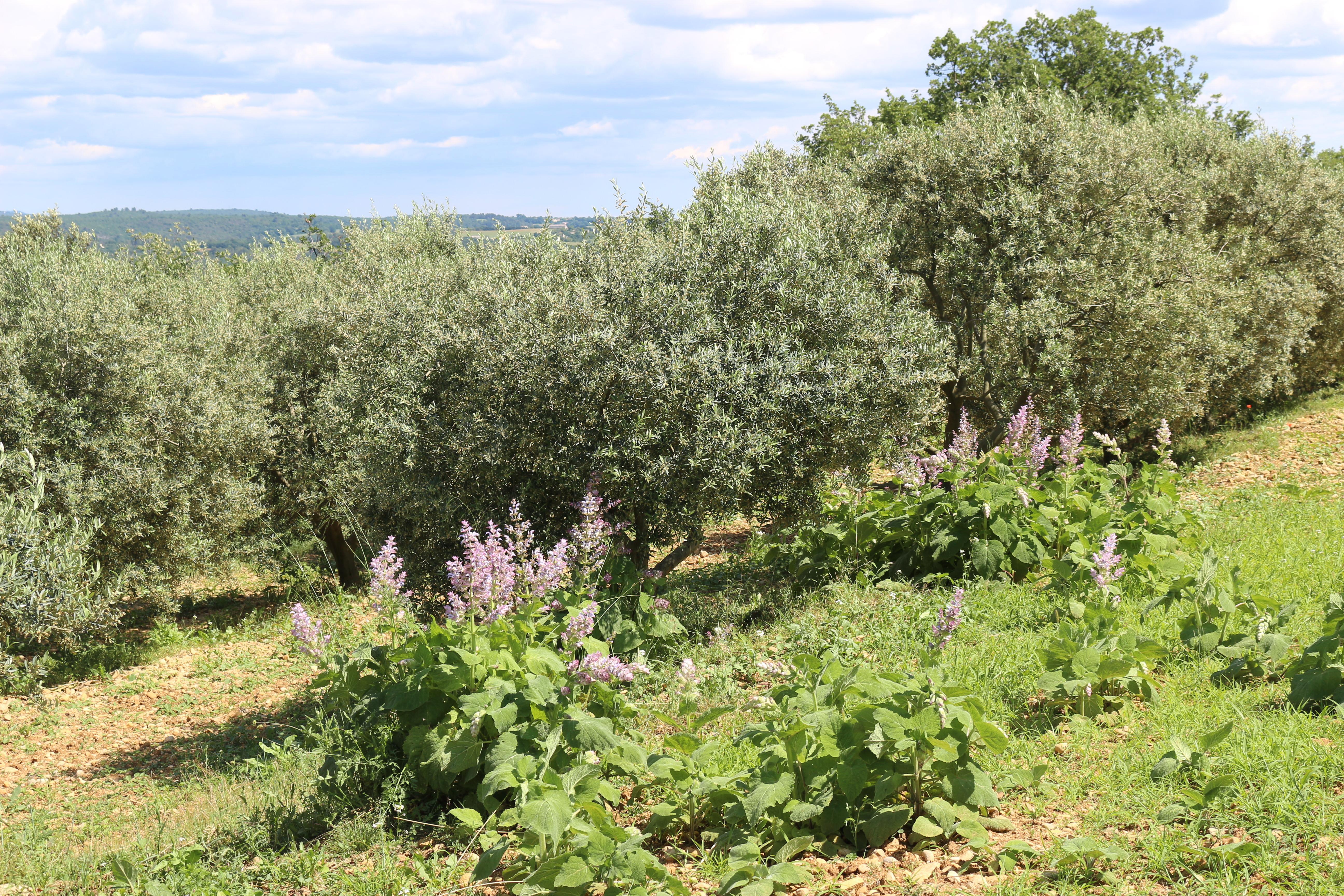 sauge sclarée et oliviers